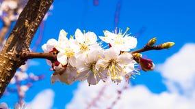 Abrikoos het bloeien Stock Afbeelding