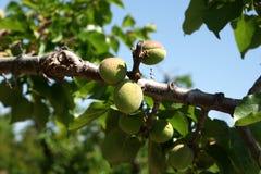 Abrikoos, Prunus-armeniaca Royalty-vrije Stock Afbeeldingen