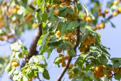 Abrikozen in de zon Sappig fruit op de takken van bomen De rijpe abrikoos is klaar voor het oogsten stock afbeelding