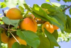 Abrikozen op de tak stock foto