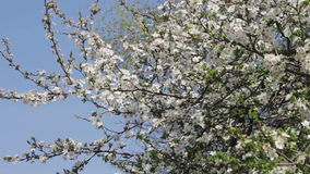 Abrikozenbloem die in de Lente bloeien stock footage