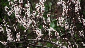 Abrikozenbloem die in de Lente bloeien stock video