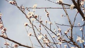 Abrikozenbloem Witte bloesems die in de Lente bloeien stock footage