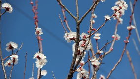Abrikozenbloem Witte bloesems die in de Lente bloeien stock video