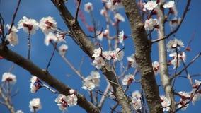 Abrikozenbloem Witte bloesems die in de Lente bloeien stock videobeelden