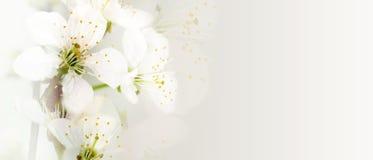Abrikozenbloemen Royalty-vrije Stock Foto
