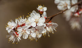 Abrikozenbloemen Royalty-vrije Stock Afbeeldingen