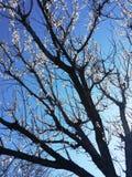 Abrikozenbloemen Stock Foto