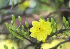 Abrikozenbloemen die in het Maannieuwjaar van Vietnam bloeien stock afbeeldingen