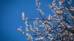 Abrikozenbloemen op de boom bij de hemelachtergrond stock footage