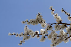 Abrikozenbloemen op een achtergrond van blauwe hemel Stock Afbeelding