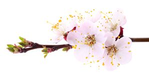 Abrikozenbloemen op wit Royalty-vrije Stock Foto's