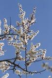 Abrikozenbloemen tegen blauwe hemel Royalty-vrije Stock Foto's