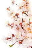 Abrikozenbloesem Royalty-vrije Stock Afbeelding