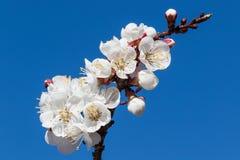 Abrikozenbloesems met een aardige blauwe hemelachtergrond stock foto