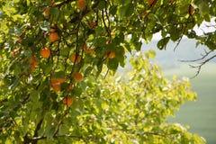 Abrikozenboom stock afbeelding