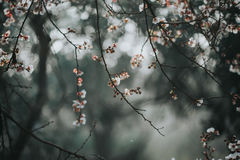 Abrikozenboom in bloesem Royalty-vrije Stock Afbeelding