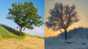 Abrikozenboom op een heuvel in tegenovergesteld seizoen twee stock afbeeldingen