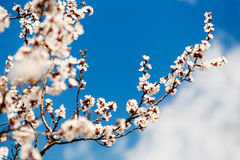 Abrikozenboom over blauwe hemel royalty-vrije stock foto