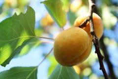 Abrikozenfruit Royalty-vrije Stock Foto's