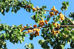 Abrikozenvruchten in het zonlicht Stock Fotografie