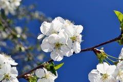 Abril, flores de cerezo 3 Fotos de archivo libres de regalías