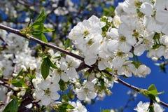 Abril, flores de cerezo 1 Fotos de archivo libres de regalías
