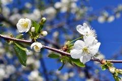 Abril, flores de cerezo 2 Imagen de archivo libre de regalías