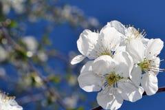 Abril, flores de cerezo 4 Fotografía de archivo libre de regalías