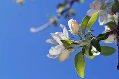 Abril, flores 1 de la manzana Fotos de archivo