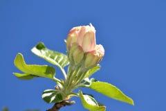 Abril, flores 2 de la manzana Fotos de archivo libres de regalías