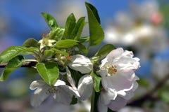 Abril, flores 3 de la manzana Imágenes de archivo libres de regalías