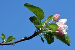 Abril, flores 4 de la manzana Foto de archivo libre de regalías