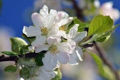 Abril, flores 5 de la manzana Imagen de archivo