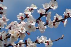 Abril, flores 2 del albaricoque Imagen de archivo libre de regalías