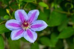 Abriu recentemente a clematite de florescência com as folhas borradas na distância fotos de stock royalty free