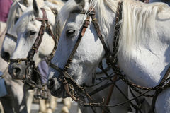 Abrivado, Saintes Maries de la Mer, Camargue, France. White horses aligned in an arena during the summer festival : Abrivado at Saintes Maries de la Mer royalty free stock photo