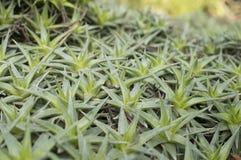 Abromeitiella brevifolia Royaltyfri Fotografi