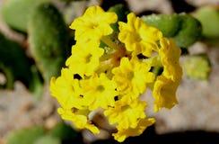 Abronialatifolia, gul sand-verbena Royaltyfria Foton