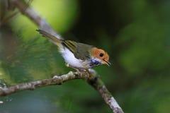 abroscopus albogularis flycatc红喉刺莺的白色 免版税库存照片