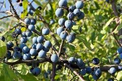 Abrunheiros azuis (spinosa do Prunus) Imagens de Stock