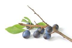 Abrunheiros - frutos da ameixoeira-brava Fotos de Stock