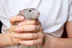 Abruti de RAM de main dans les mains d'un enfant Animal familier, plan rapproch? images libres de droits