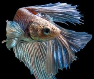 Abruti masculin Betta Fish Swimming sur un fond noir Image stock