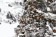 Abruzzo chamoises Fotografering för Bildbyråer