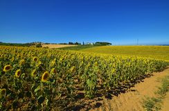 Abruzzo solrosor Arkivfoton