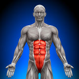 Abs - Anatomy Muscles. Medical imaging Royalty Free Stock Images