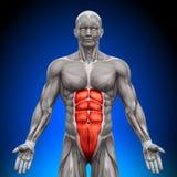 ABS - muscoli di anatomia Immagini Stock Libere da Diritti