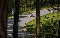 Abschüssiger Reiter Longboard, der schnell geht stockfotografie