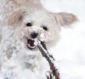 Abscheuliches Schnee-Hündchen Stockbilder